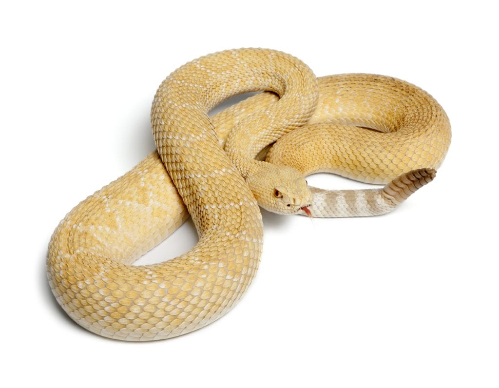 Rattlesnake: The Things You Probably Never Heard Till Now