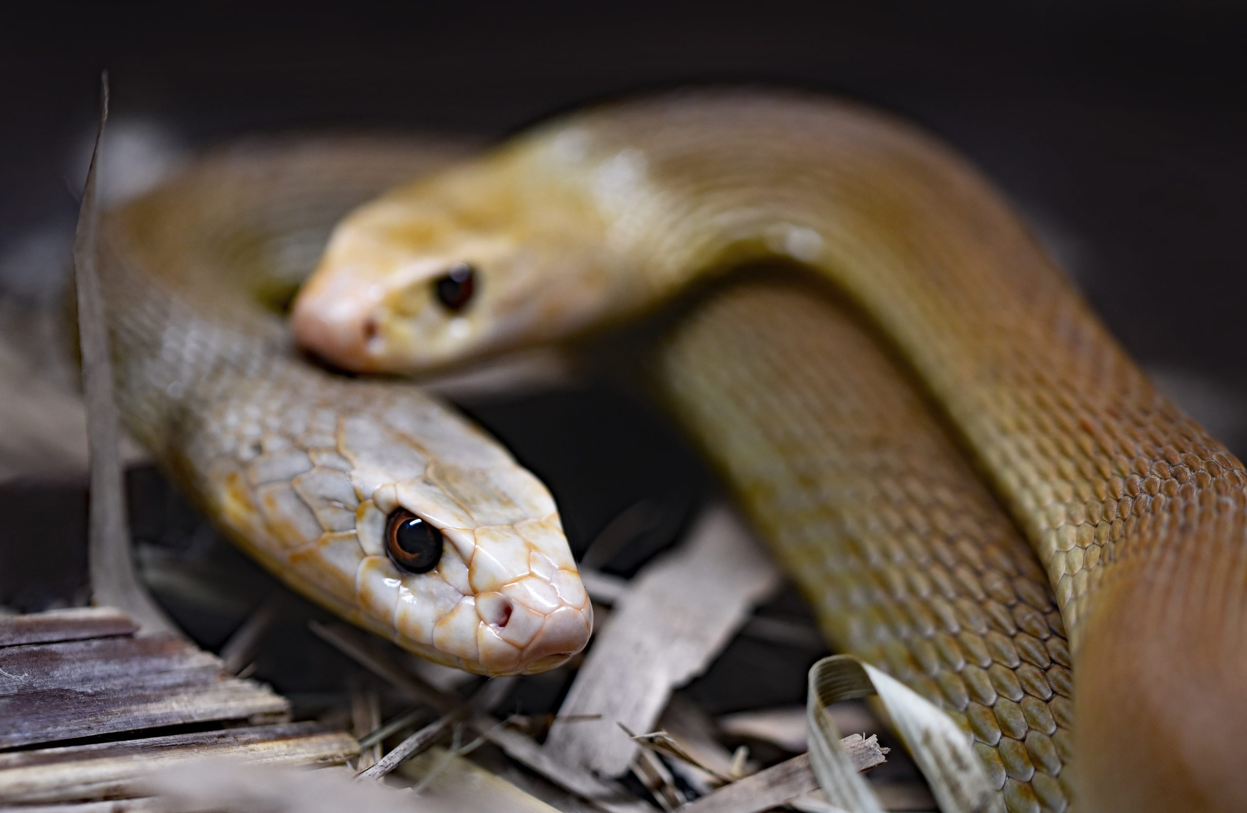 Common Rat Snake And Some Fun Facts