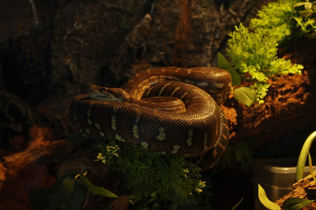 Can Anaconda Kill Pythons? Know The Answer To It