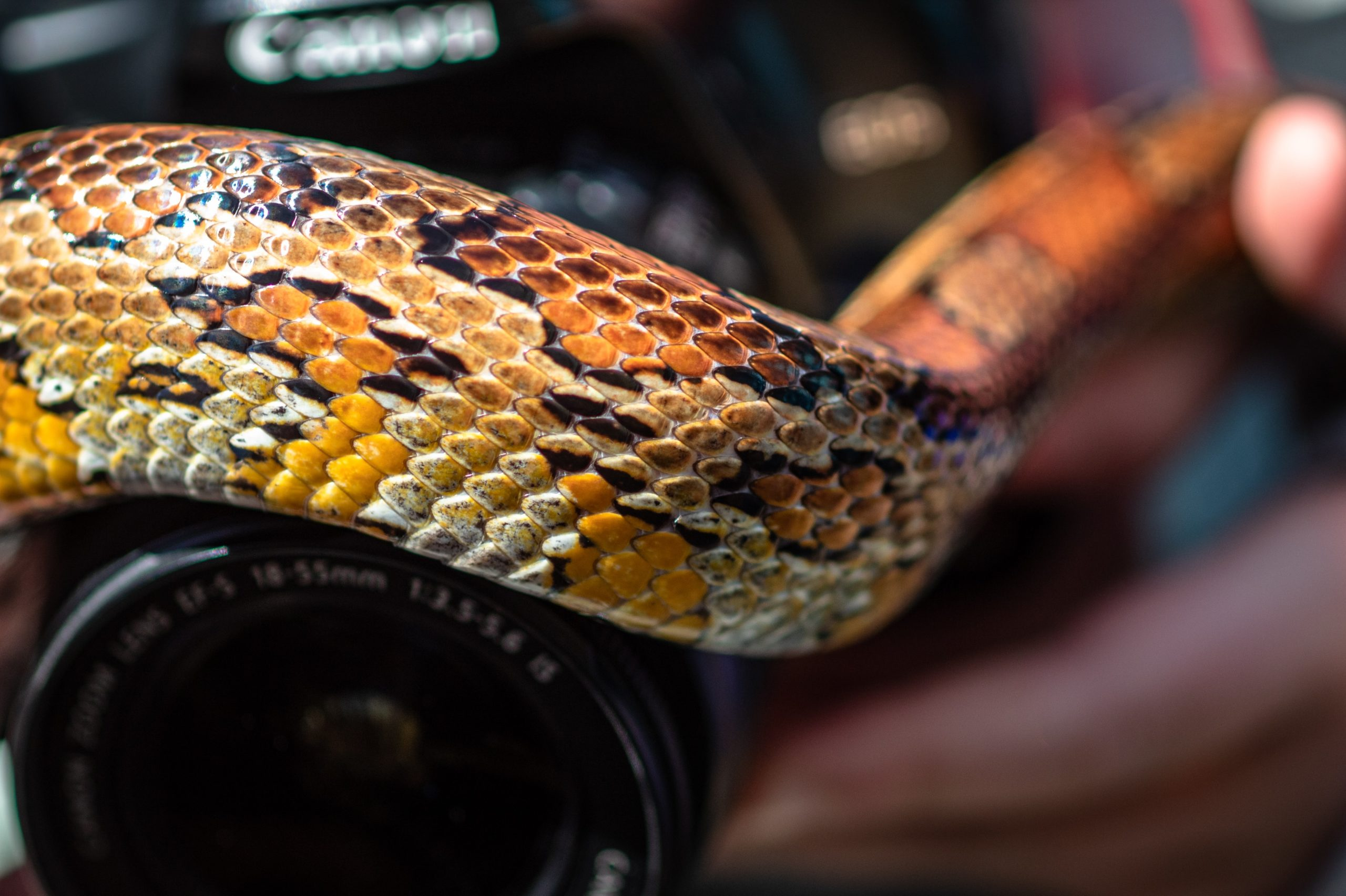 A Venomous Snake That Is As Beautiful As It Is Deadly