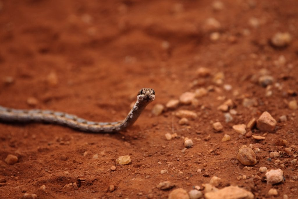 Some Amazing Facts About The King Cobra