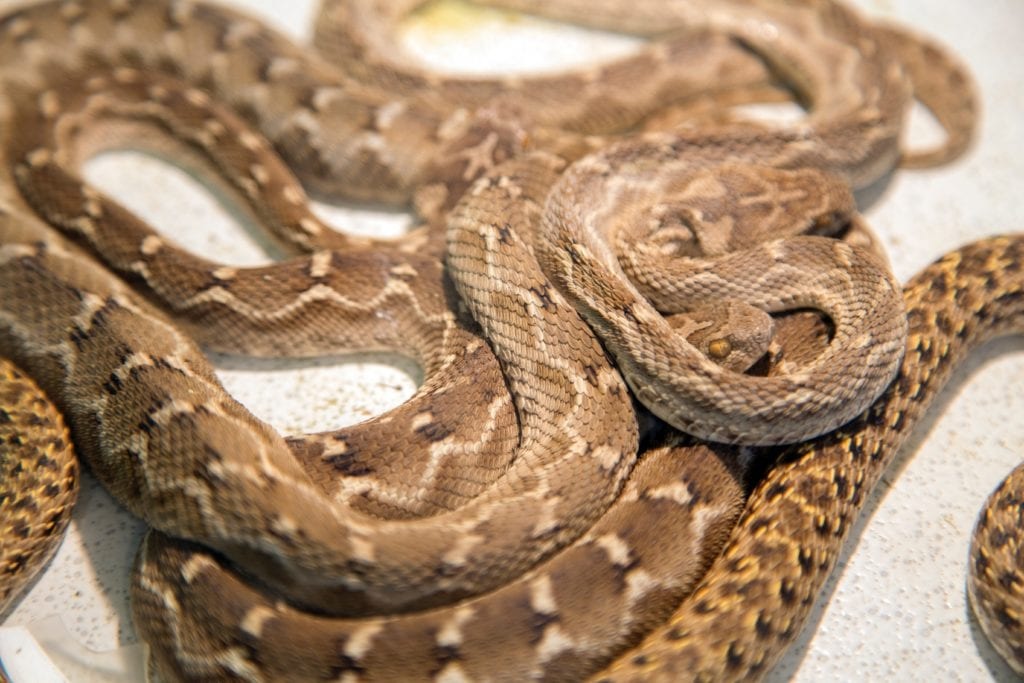 Western Hognose Snake Caring Process As Pet