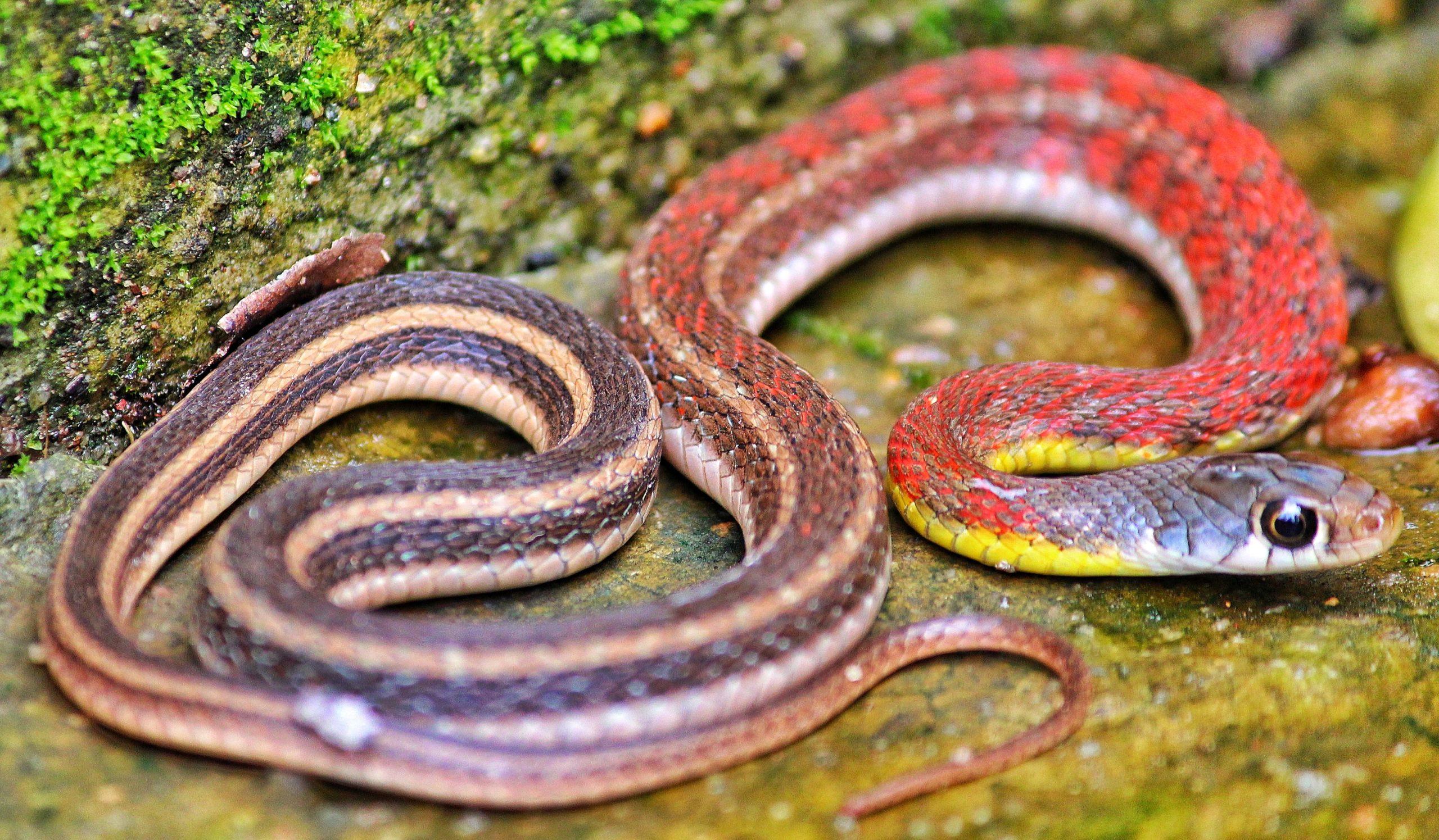 Grass Snake Facts: Things That You Did Not Know