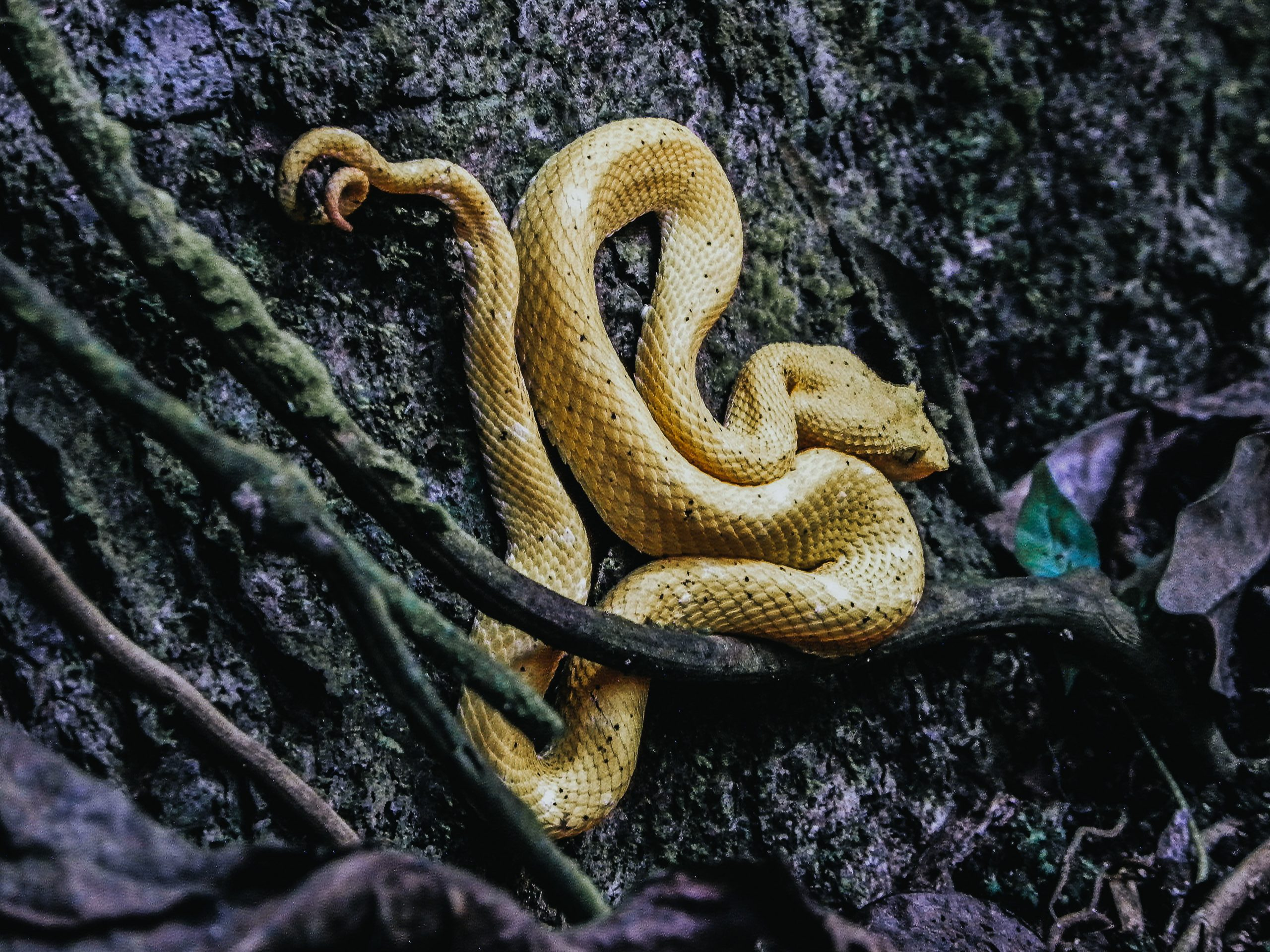 Western Hognose Snake: Everything That You Need To Know