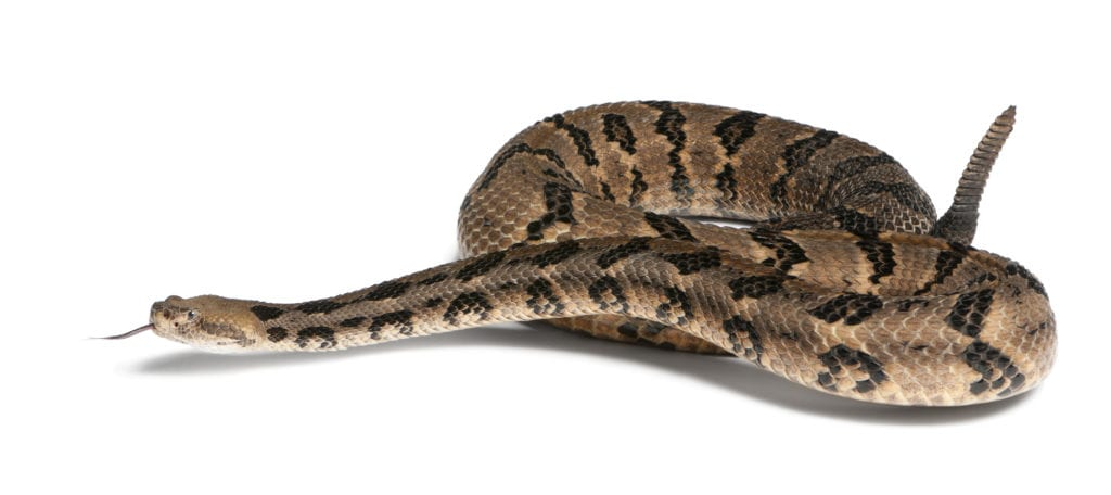 How Rattlesnake Produces Hiss Sound: Know More