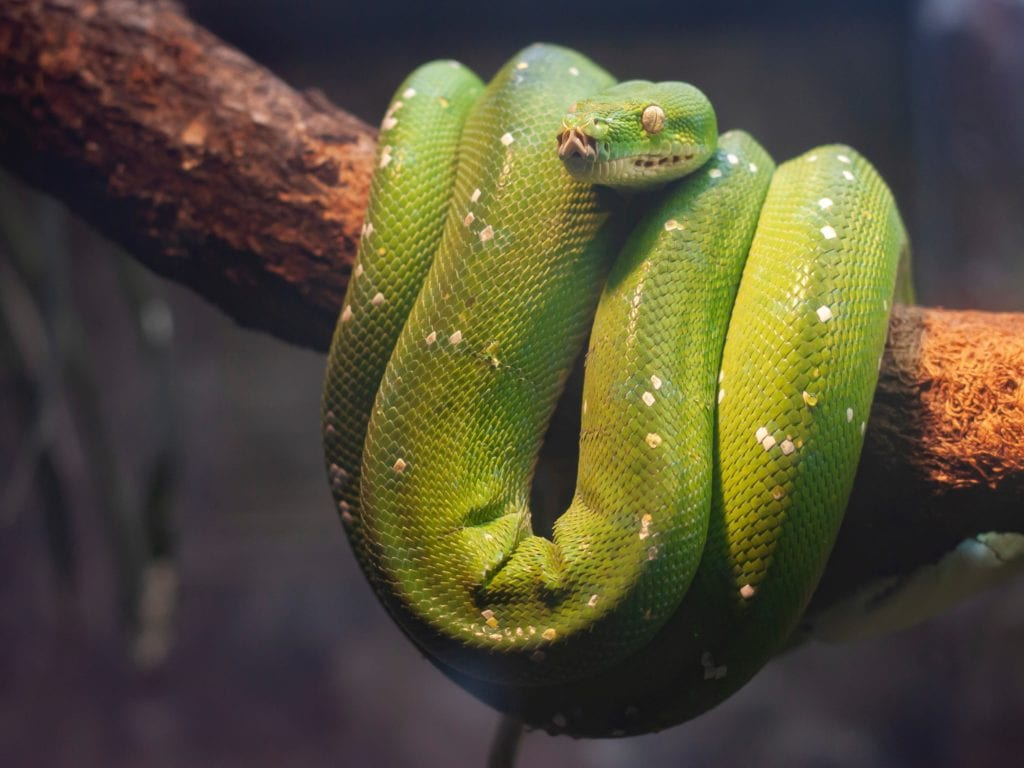 Facts About The Rat Snake: Things That You Need To Know